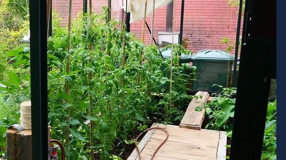 Tomatenpflanzen in einem Gewächshaus