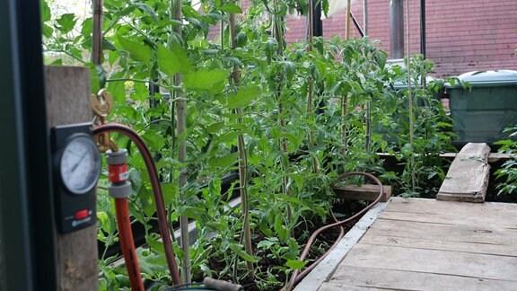 Blick in ein Gewächshaus mit Tomaten