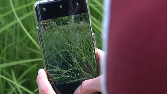 Ziergras wird mit Smartphone fotografiert