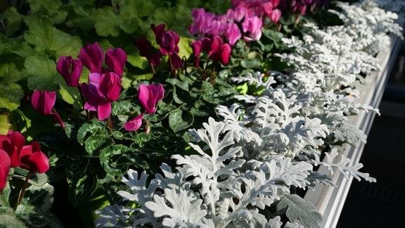 Herbstbepflanzung im Blumentopf mit Silberblatt und Alpenveilchen