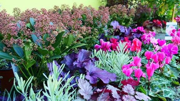 Herbstbepflanzung im Blumentopf mit Heuchera und Alpenveilchen