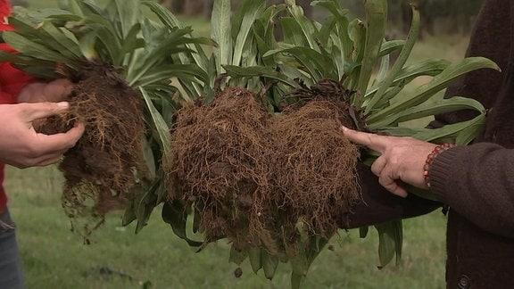 Pflanzen mit unterschiedlich gut entwickelten Wurzeln.
