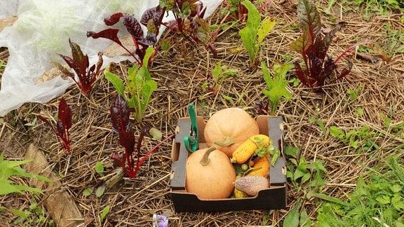 Gemüse ernten oder im Beet lassen.