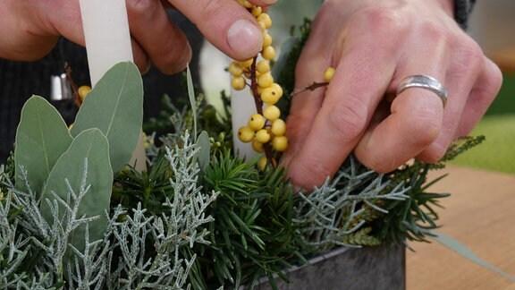 Ein Mann steckt einen Stechpalmenzweig mit gelben Beeren zwischen die Nadelhölzer.