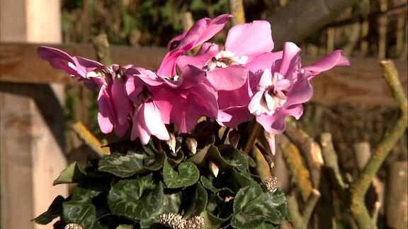 Floristik mit Alpenveilchen