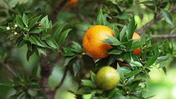 Zitrusgewächs mit Früchten