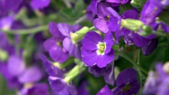 MDR Garten - Blaukissen