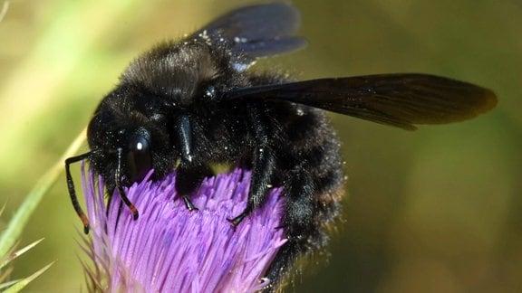 Holzbiene auf einer Blüte