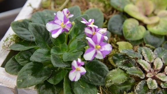 Usambaraveilchen mit lila-weiß gestreiften Blüten.