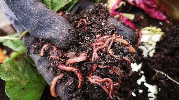 Eine Hand hält Erde mit vielen Würmern.