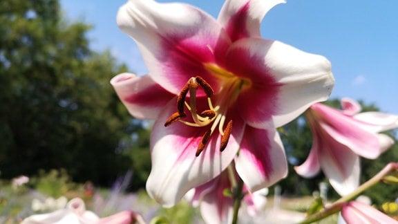 Weiße Lilie mit einer pinken Blütenmitte