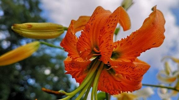 Orangene Lile