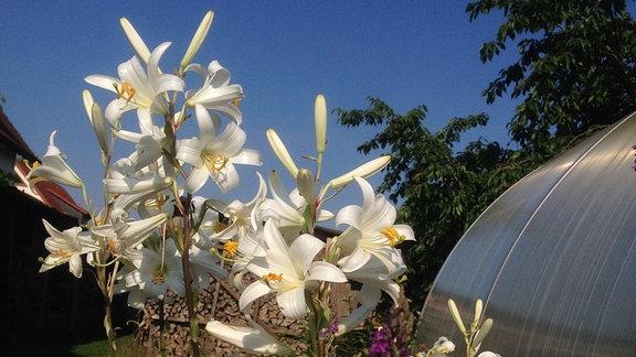 Weiße verzweigte Lilienpflanze mit vielen Blüten