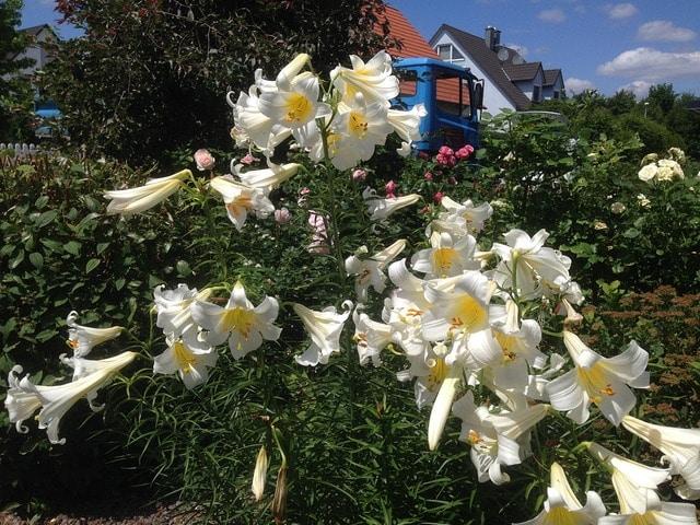 Lilien Die Schöne Wildblume Vorgestellt Mdrde
