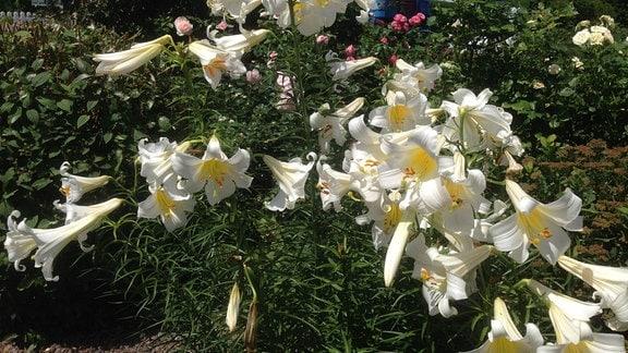 Weiße Lilienblüten