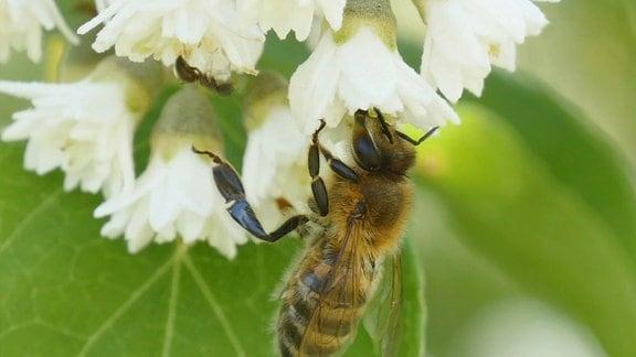 Eine Biene in einer Blüte