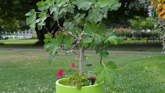 In einem grünen Topf ist ein junger Feigenbaum gepflanzt.