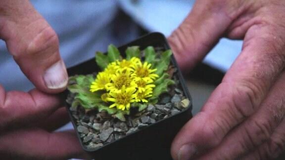 Gebirgspflanze
