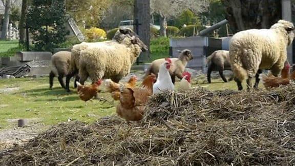 Hüner auf einem Misthaufen, im Hintergrund Schafe