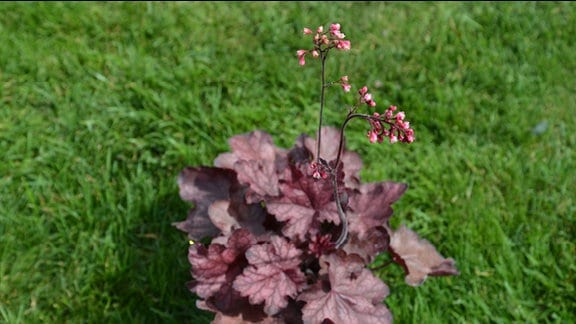 Heuchera Fire Chief
