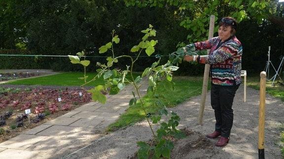 Drahtspanner aus dem Baumarkt spannen die Drähte. Ein neuer Trieb wird am Draht befestigt.