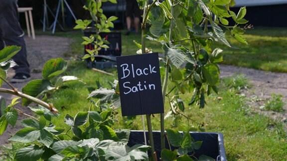 """Die Brombeere """"Black Satin"""" - Pflanze."""