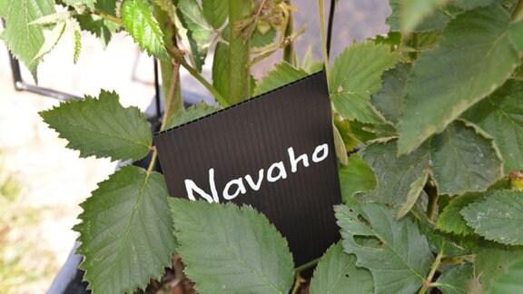 """Brombeere """"Navaho"""""""