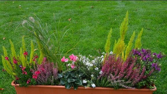 Ein langer Blumentopf mit verschiedenen Pflanzen. Zu sehen sind die Baumheide, Glockenheide, Lampenputzergras, Caluna Knospenblüher, Alpenveilchen, Hebe, Knospenblüher