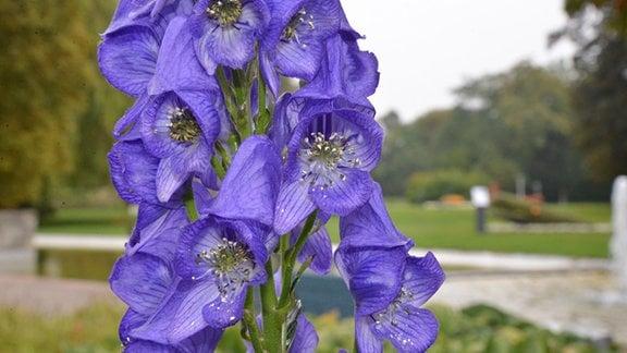 Blaue Blütendolde des Eisenhuts