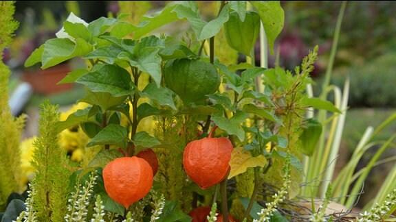 Früchte der Lampionblume
