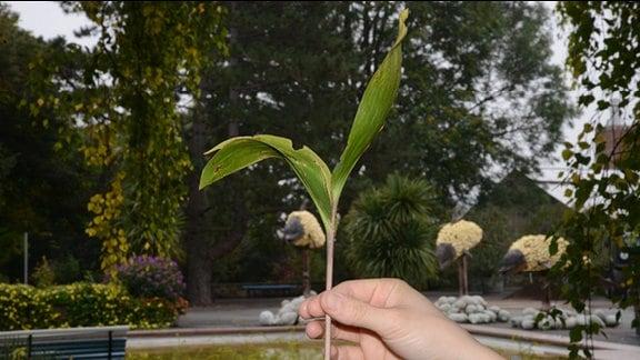 Eine Hand hält einen Maiglöckchenstängel mit zwei Blättern