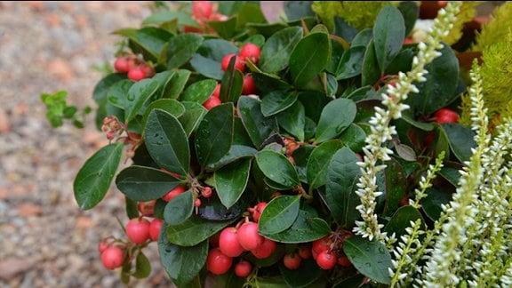 Scheinbeere mit kräftigen grünen Blättern und knallroten Früchten