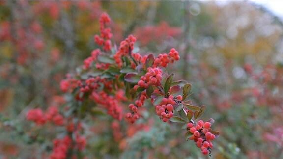 Doldenartig hängen viele rote Fruchtperlen an einem Berberitzenstrauch.