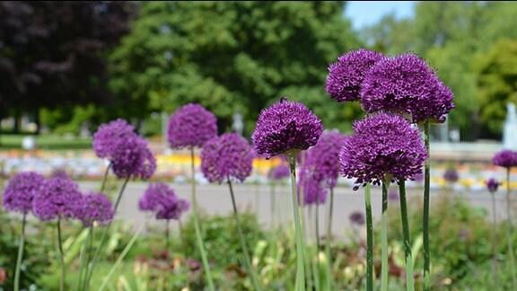 Verschiedene Allium