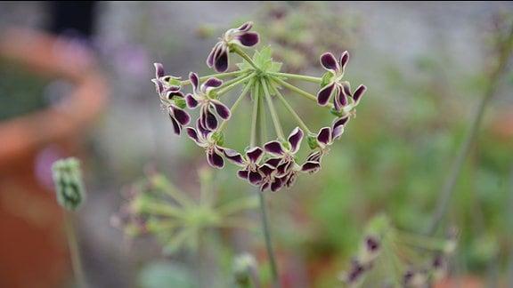 Pelargonie Helene mit zarten Blüten