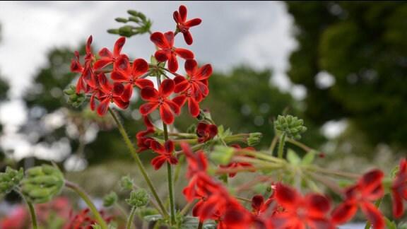 Pelargonie mit zarter Blüte