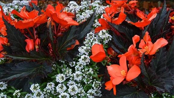 Rote Begonien und weißes Eisenkraut in einem Blumentopf