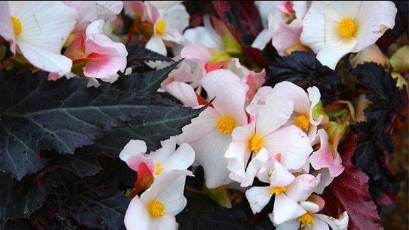 Weiße Begonie mit dunkelgrünen Blättern