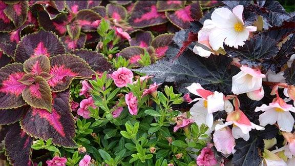 Buntnessel, Begonie und Calibrachoe in einem Blumenkübel