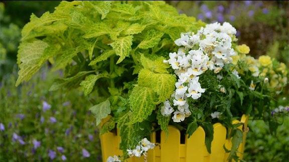 Buntnessel und Nemesia mit hellgelben Blüten  in einem Topf