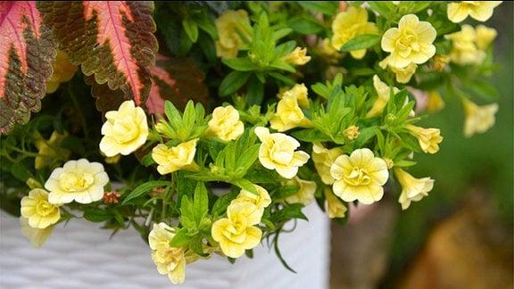 Gelbe Blüten der Calibrachoe