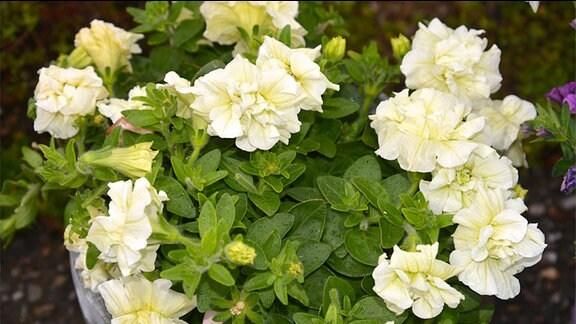 Weiße gefüllte Blüten der Petunie