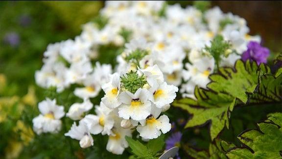 Hellgelbe Blüten der Nemesia