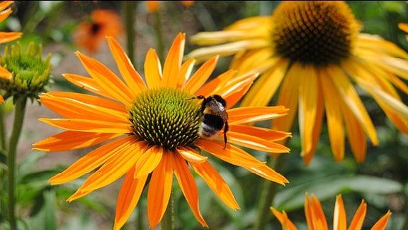 Eine Hummel auf einer orangefarbenen Sonnenhut-Blüte