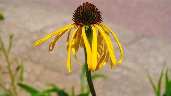 Gelb blühende Sonnenhut-Pflanze