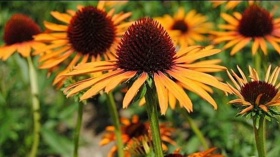 Orange blühende Sonnenhut-Pflanzen