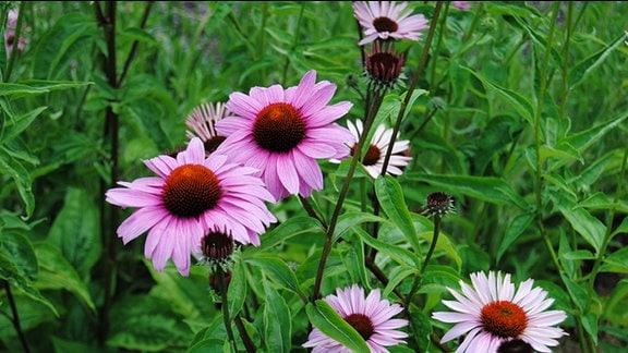 Rosa blühende Sonnenhut-Pflanzen