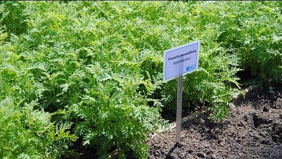 Grüne, krautige Pflanzen wachsen in Reihen auf einem Beet