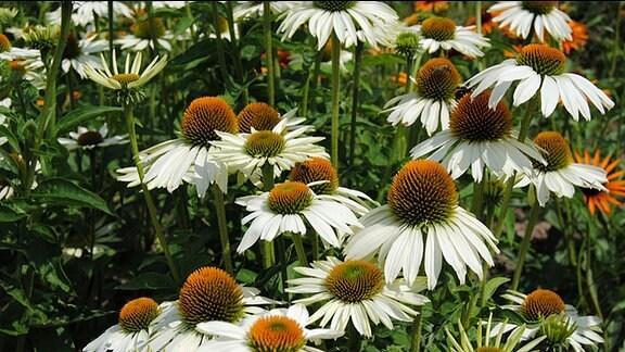 Weiß blühende Sonnenhut-Pflanzen