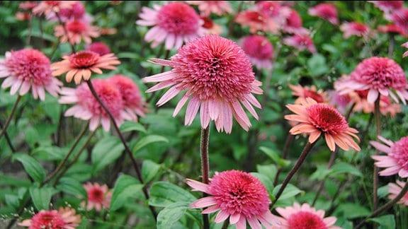 Gefüllte, rosa-rot blühende Sonnenhut-Pflanzen